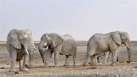 100 elephant herd paint color elephant herd in botswana africa title happy hour saatchi