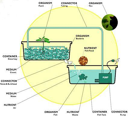 backyard tilapia farming best 25 aquaponics fish ideas on pinterest