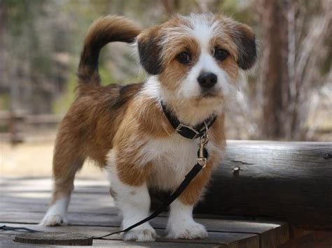 shih tzu corgi shorgi puppy shih tzu and corgi mix perfection puppies puppys and