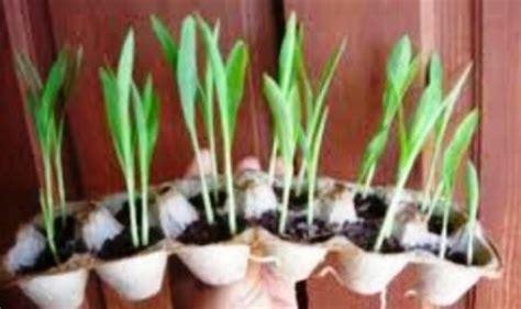 Tanaman Hias Rumput Hitam kreasi pot rumput cantik unik dari kardus telur