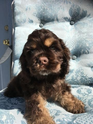 cocker spaniel puppies for sale in florida view ad cocker spaniel puppy for sale florida lakeland usa
