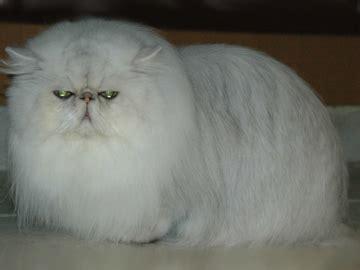 foto dei gatti persiani i colori dei gatti persiani gattipersiani it gatti