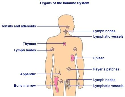 diagram of the immune system how does the circulatory and immune system differ quora