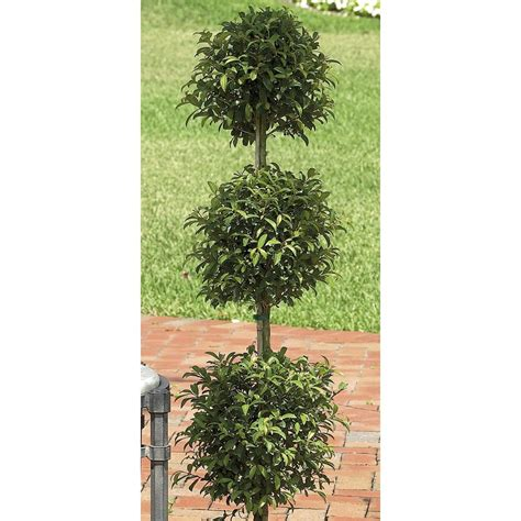 shrub topiary shop white eugenia topiary shrub l20938hp at lowes