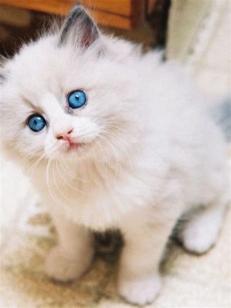 wallpaper bintang kucing 13 ras kucing paling menggemaskan kamu mau pelihara yang