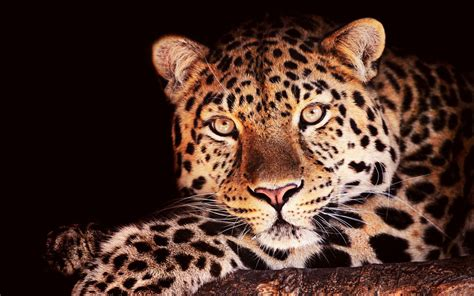 jaguar print wallpaper black jaguar wallpaper wallpapersafari