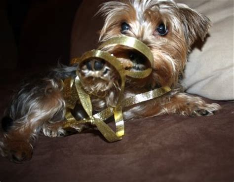 spoiled rotten yorkies the of our as a married and