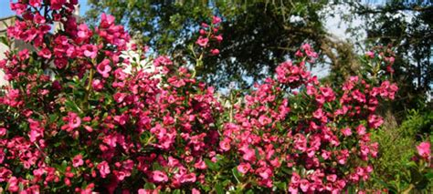 fast growing flowering shrubs uk escallonia hedge escallonia hedging plants hedges