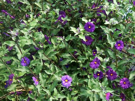 shrub with purple flowers plant guide lycianthes rantonnetii royal robe