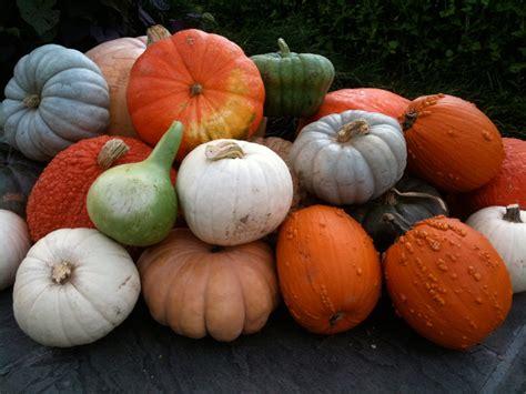 photos pumpkins decorating with pumpkins bonnie plants