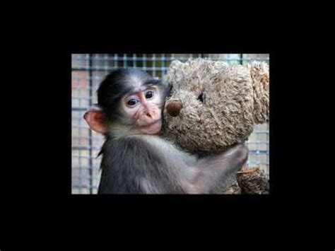 harlow s contact comfort harlow s rhesus monkey experiments and the attachment