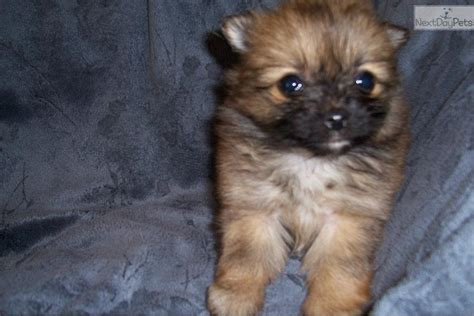 pomapoo puppies for sale near me poma poo pomapoo puppy for sale near jackson mississippi a92845b8 a8e1