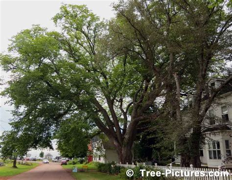 american tree elm tree pictures images photos