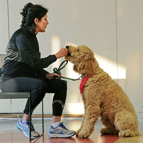 therapy dogs career therapy dogs undergo rigorous classes testing to do their pittsburgh post gazette