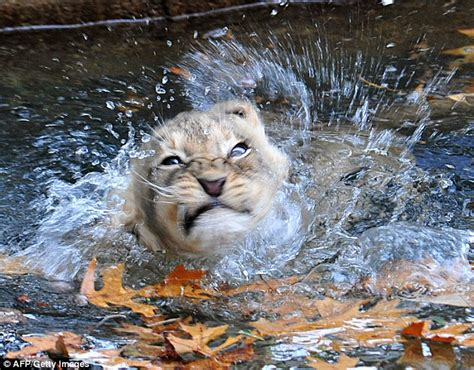 Lion cub is less than impressed after dip in zoo moat