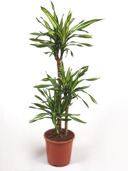 Indoor Plants Uk | indoor house office plants for sale online uk wide