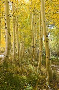 aspen tree grove in autumn wallpaper wall mural self aspen trees wall mural and removable wall decal