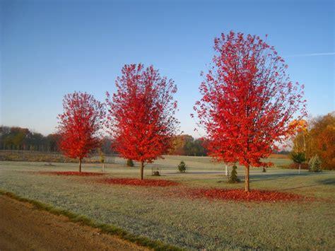 maple tree vs autumn blaze acer freemanii autumn blaze related keywords acer freemanii autumn blaze keywords