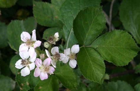 r fruticosus rubus fruticosus