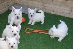 puppies for sale charleston wv west highland white terrier puppies for sale charleston wv 262009