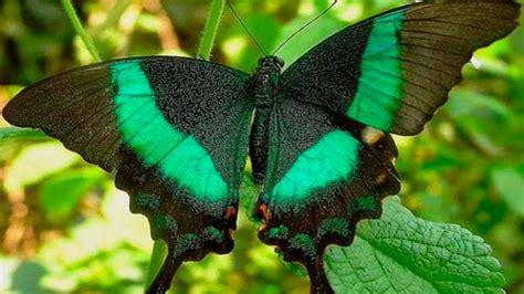 imagenes d mariposas hermosas top 10 mariposas mas hermosas youtube