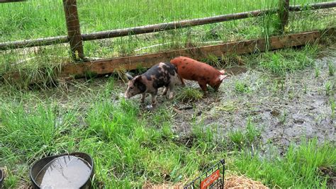 backyard pig backyard pigs the homesteading boards