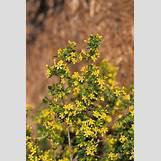 Eastern Redbud Leaves | 300 x 450 jpeg 34kB