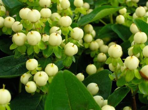 ipericum fiore hypericum quot magical white quot flora 2000