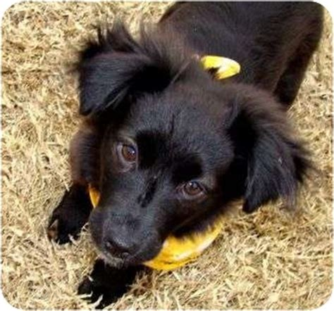 border collie pomeranian mix puppies adopted puppy 1339 muldrow ok pomeranian border collie mix