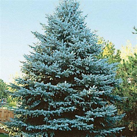 colorado blue spruce trees buy online at nature hills blue spruce trees www pixshark com images galleries