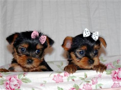 teacup yorkie puppies for sale in ohio teacup yorkie puppies for re homing northeast ohio dogs for sale puppies for sale