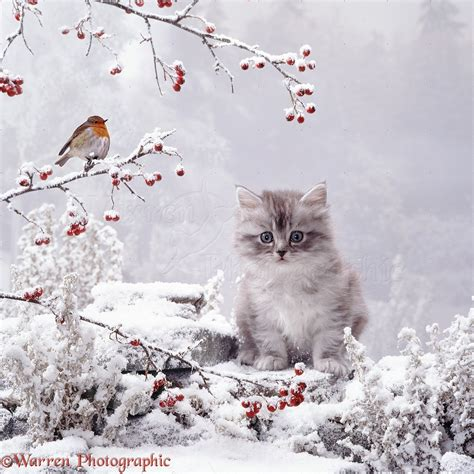 in snow kitten and robin in snow photo wp07167