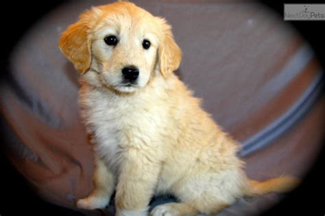 golden pyrenees puppies for sale meet cupcake a mixed other puppy for sale for 150 golden pyrenees cupcake