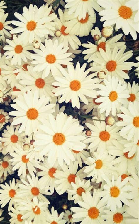 imagenes tumblr margaritas flores fondo tumblr
