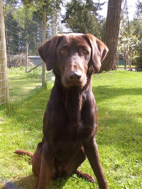 different types of breeds different types of labrador breeds dogs in our photo