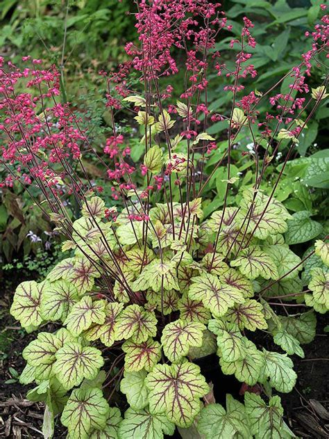 221 best heuchera the best evergreen shade plant images on pinterest flowers garden heuchera