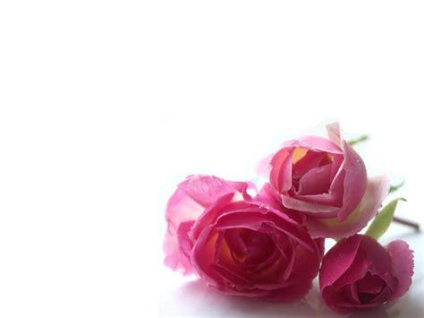 imagenes rosas wallpapers fondo rosa bella flores fondos de pantalla im genes