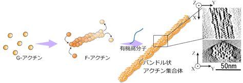 protein f aktin self organization material chemistry laboratory
