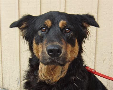 rottweiler shepherd mix 301 moved permanently