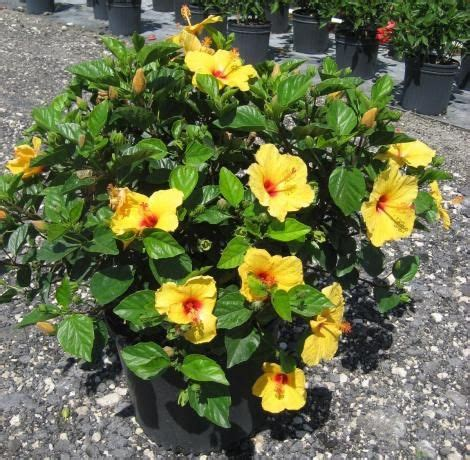 tropical hibiscus grows 5 6 tall 2 3 wide doesn t need lots of water drought tolerant but