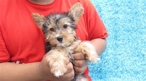 yorkie temperament yorkie poo temperament the bold beautiful design