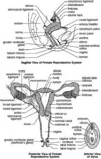 Female reproductive system blank diagram on human female reproductive