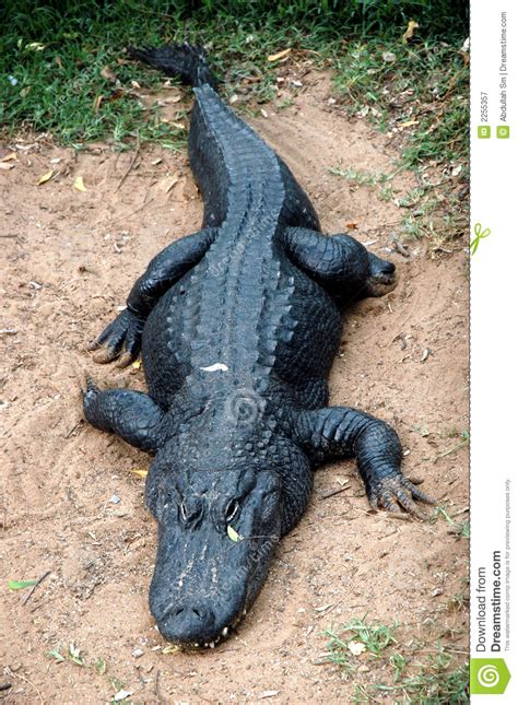 Alligator Black black alligator royalty free stock photography image