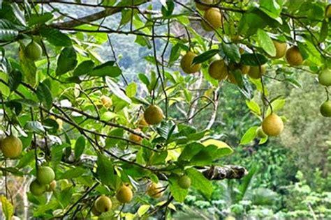 Bibit Pala agen bibit tanaman unggul sukabumi jual bibit buah pala