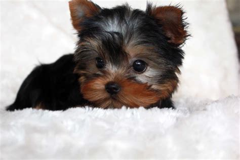 miniature teacup yorkies tiny teacup yorkie puppies for sales micro terrier puppy breeds