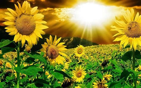 wallpaper bunga animasi gambar bunga matahari animasi 3d kumpulan gambar