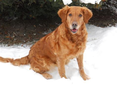 ambertrail golden retrievers wynwood golden retrievers golden puppies breeders hastings michigan