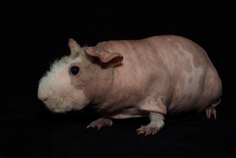 Beautiful Colours dalmation skinny pigs