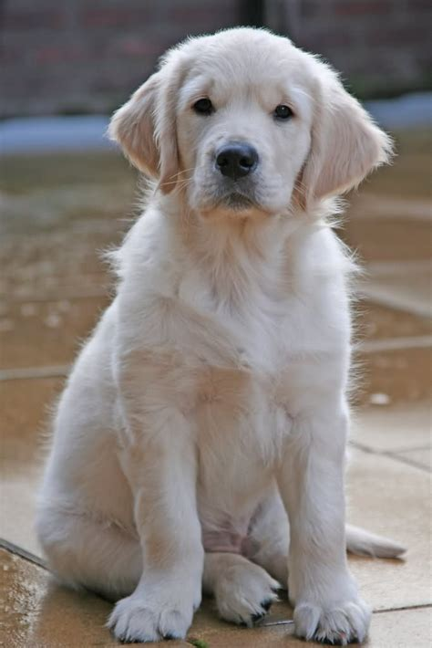 golden retriever puppies white 50 most stunning white golden retriever photos and images