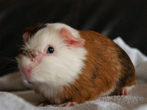 puck the guinea pig with mites flickr photo